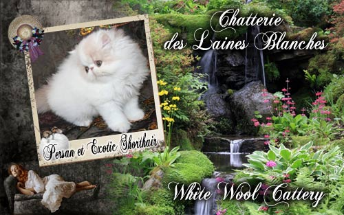 White Wool Cattery