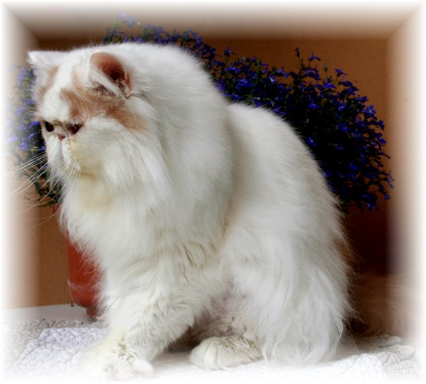 Neutered persians cats