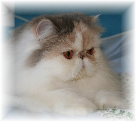 persians cats cattery breeder