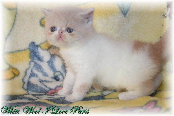 vente chatons persans