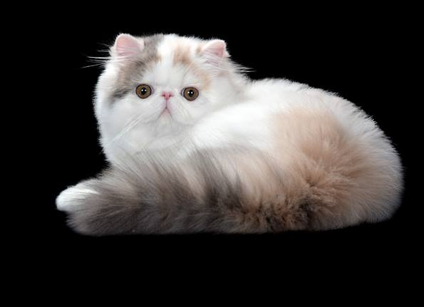 kittens persians born sell sale