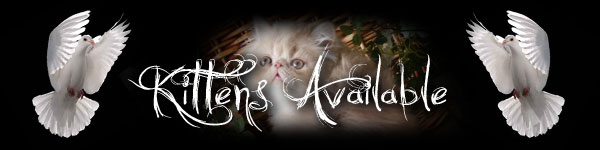 persians kittens sale sell available