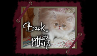 kittens persian sale sell
