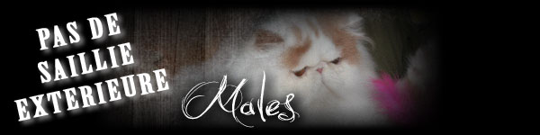 males chats persans reproducteurs