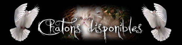 vente chatons persans disponibles