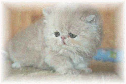 Choose sell persians kittens
